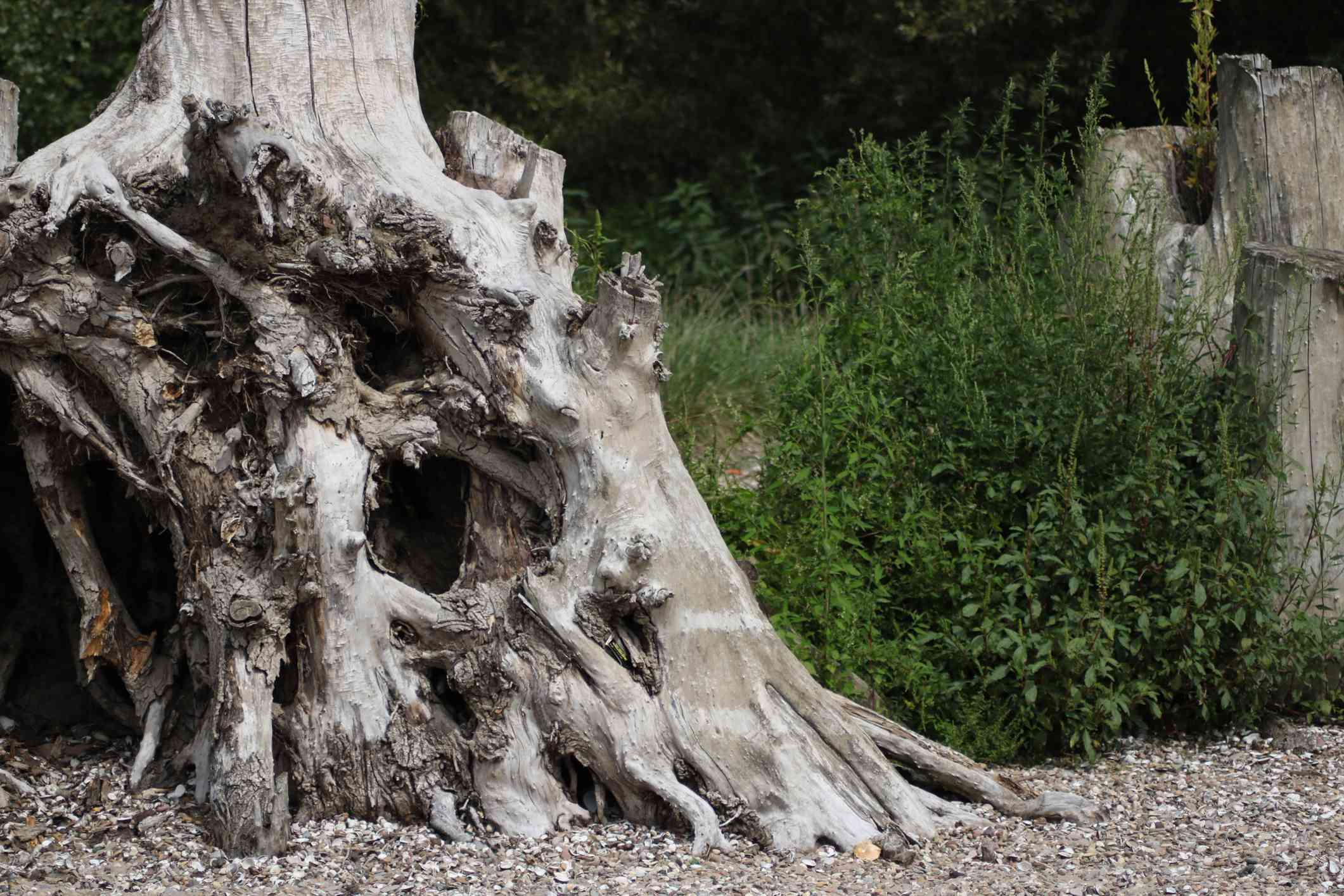 Dry dead roots of a tree on a beach.