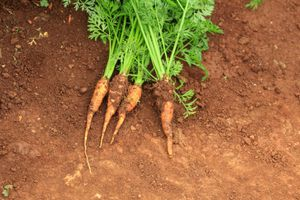 freshly harvested carrots pulled out of ground with stalks attached
