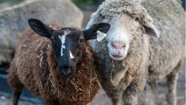 two sheep named Wembley and Margaret from Juniper Moon Farm