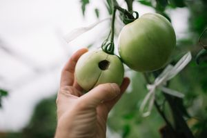 Hand holding a green tomato with a hole in it on the vine