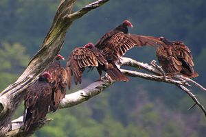 Five Turkey vultures hanging out on a branch.
