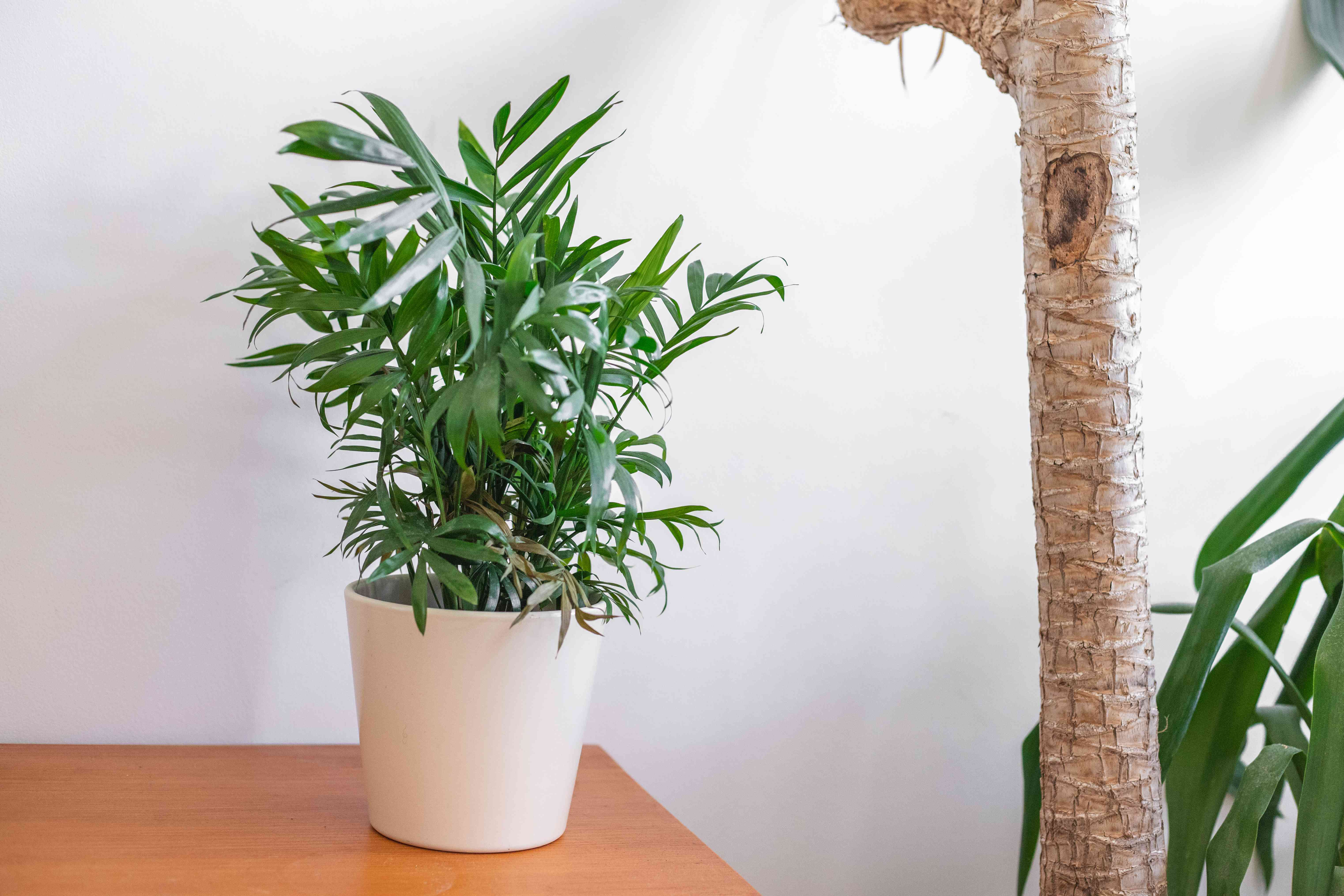parlor palm house plant in white pot on wooden furniture next to other larger house plants