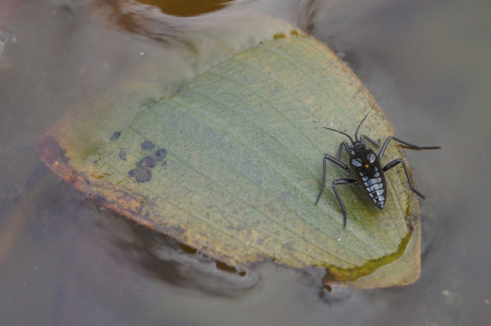 water cricket sitting on pond leaf