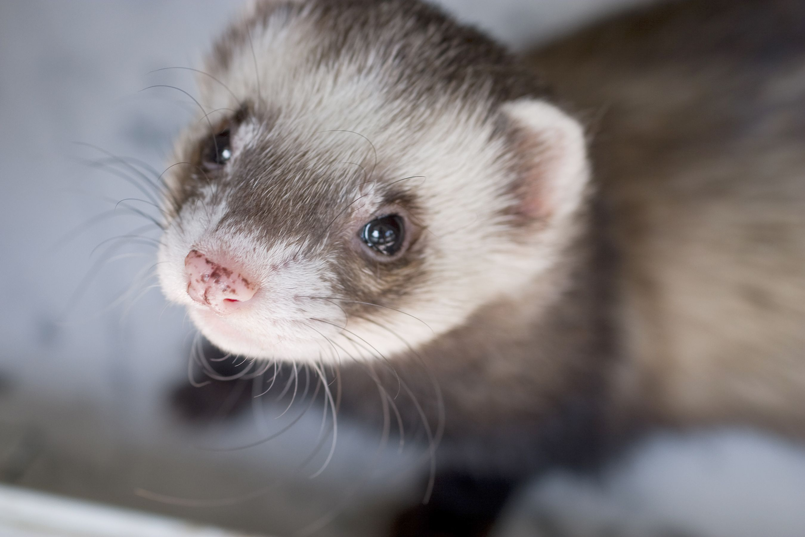 Ferrets For Life  cover image