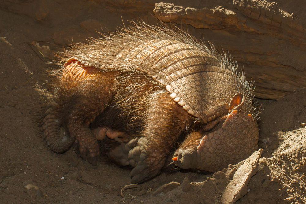 Armadillo asleep in burrow