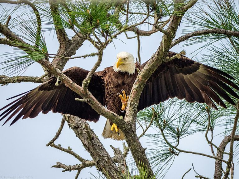 A bald eagle landing on a tree branch