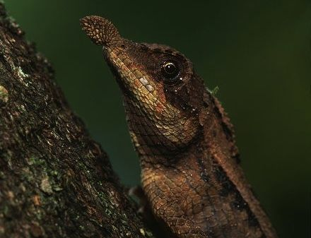 lea nosed lizard arkive photo