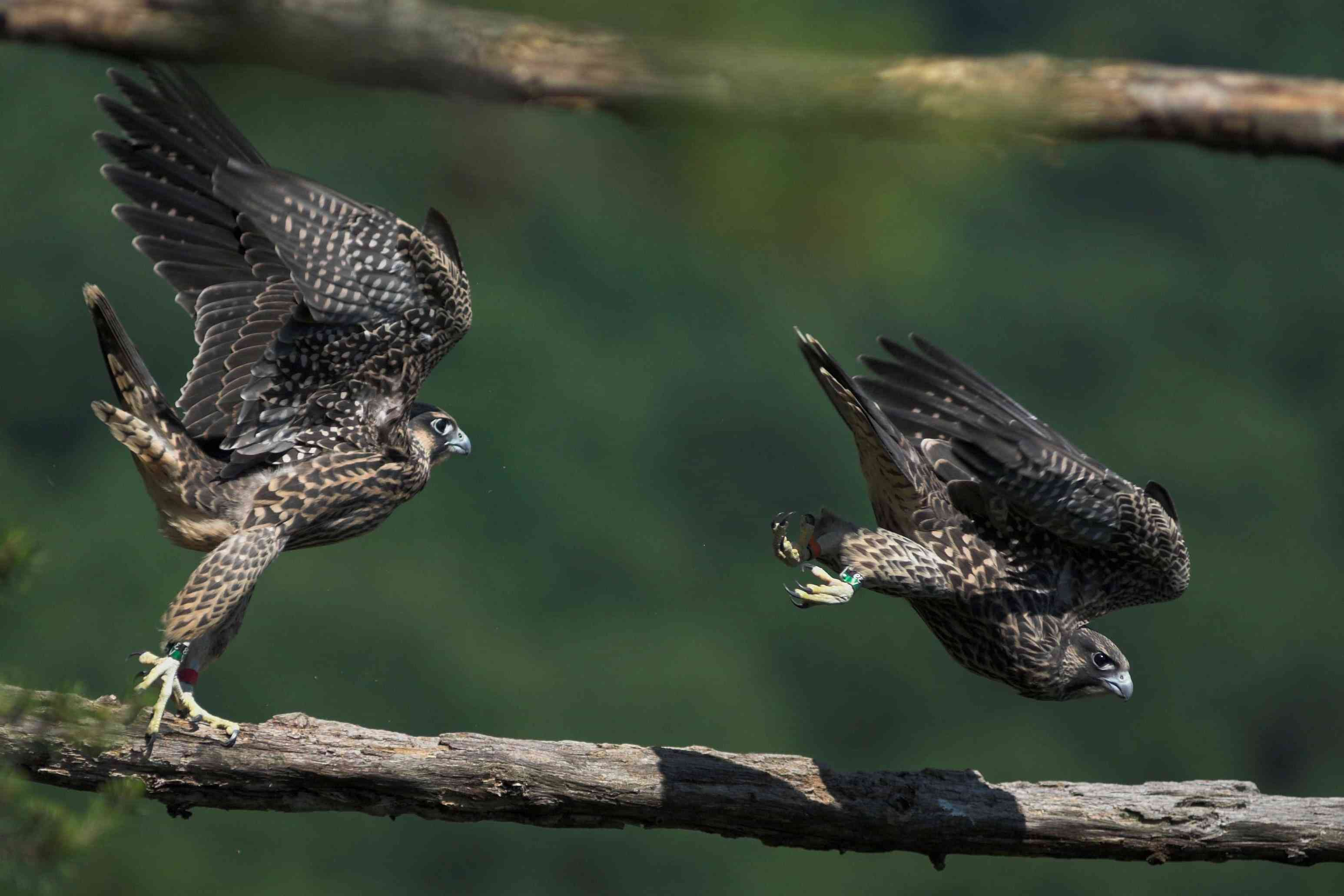 Peregrine falcons, New River Gorge