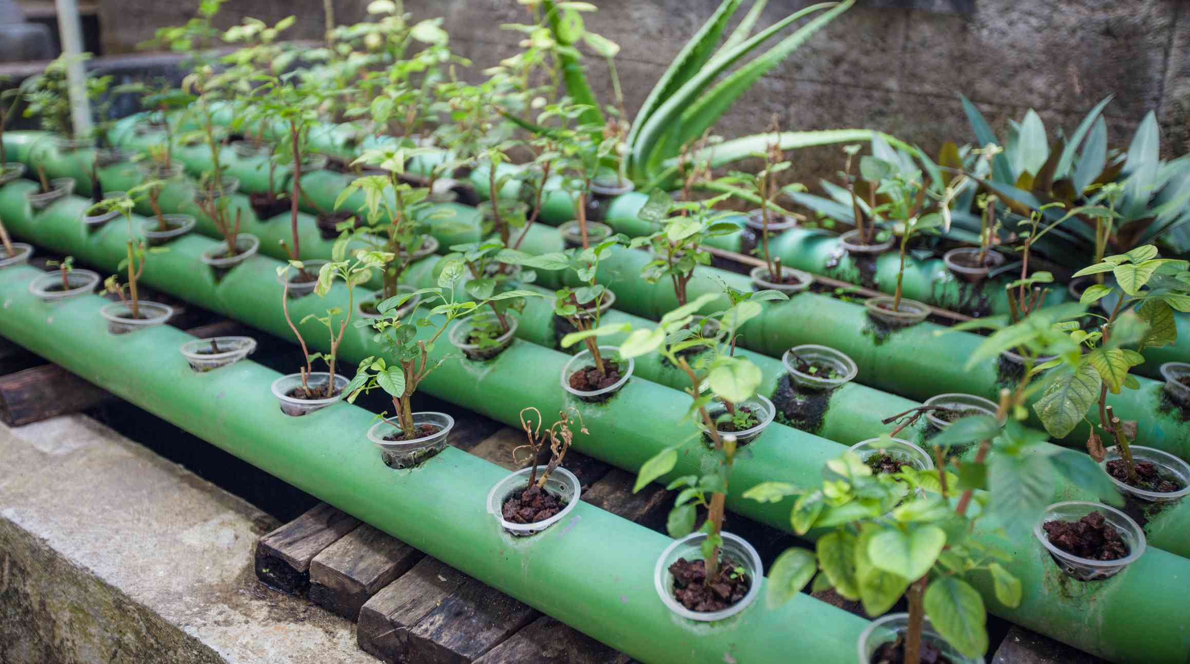 Aquaponics plants growing in pipes