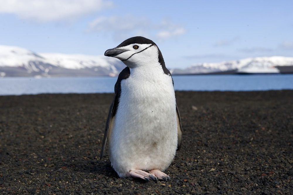 chinstrap penguin standing on beach