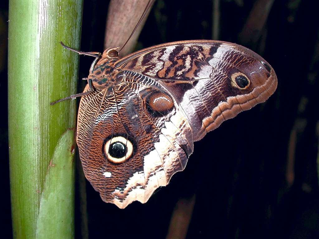 an owl butterfly, with it's distinctive markings that look like owl eyes, on a green stem