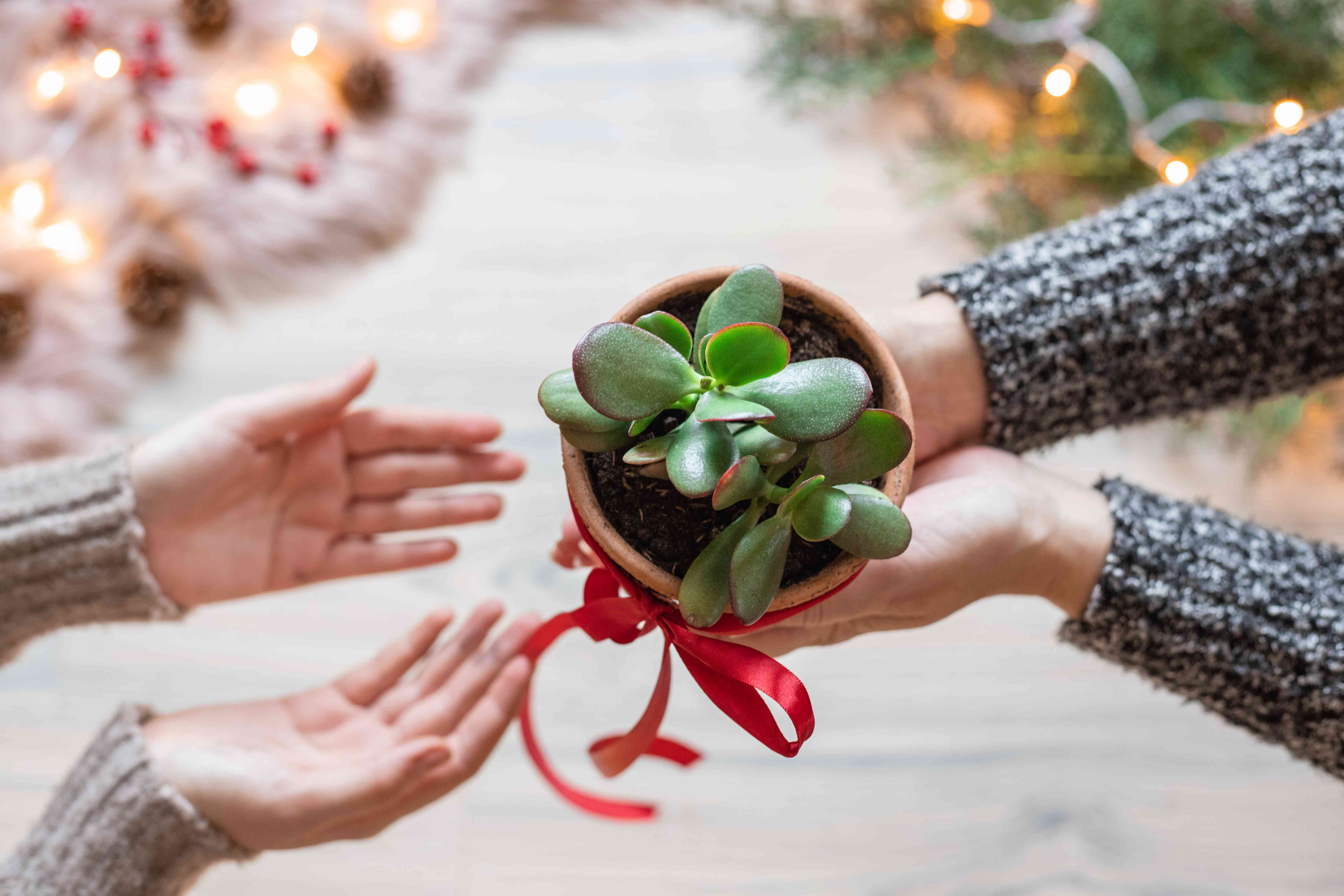 two friends exchange jade plant gift with christmas decor nearby