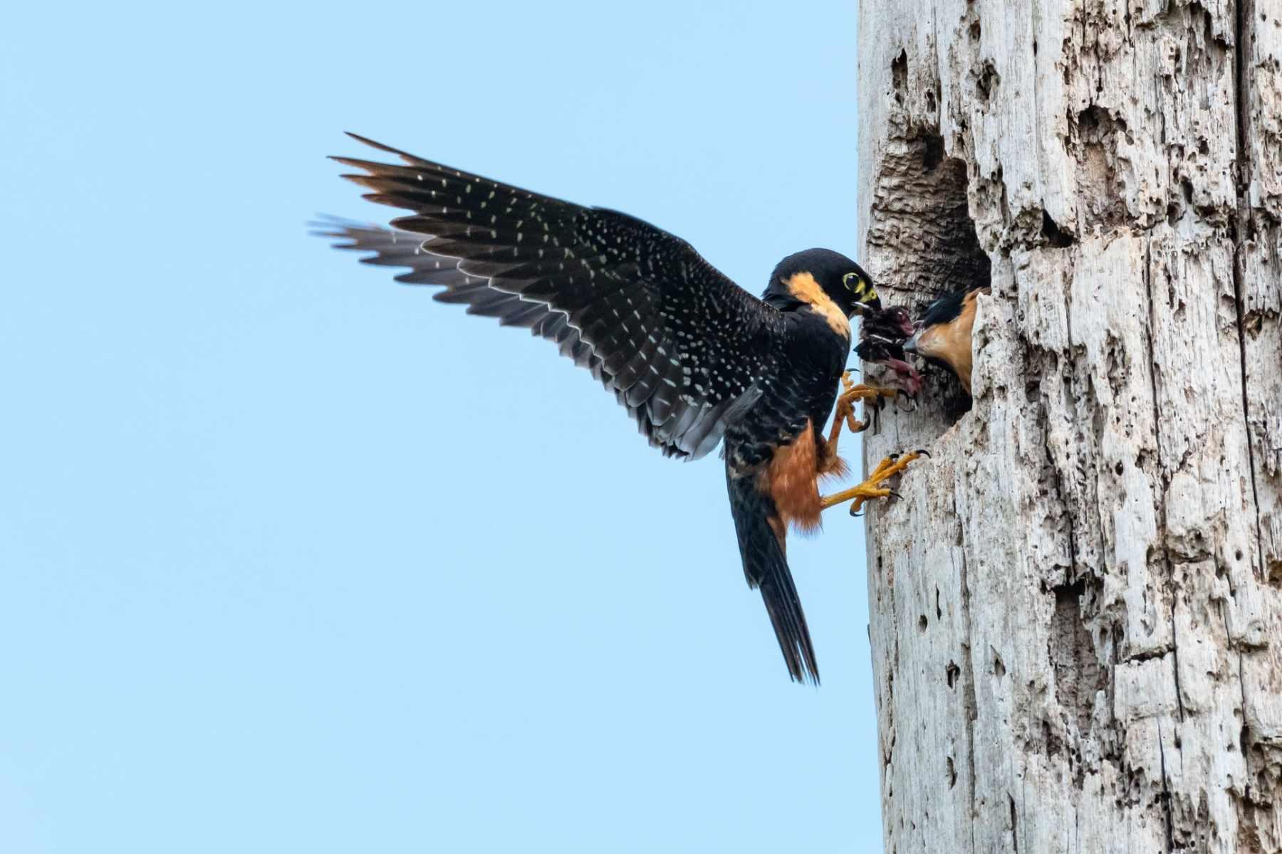 black bat falcon on tree trunk with wings fanned back
