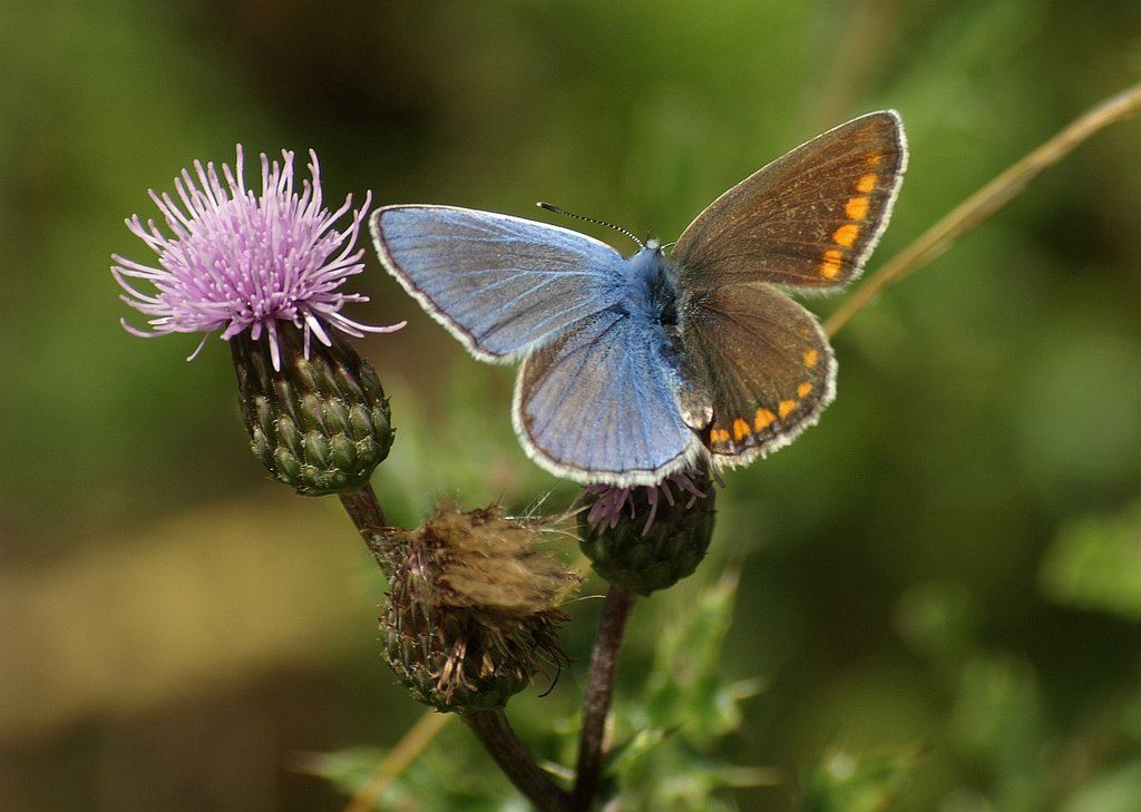 A butterfly on a lavender flowering plant displaying gynandromorphism, or the coloration of both male and female genders.