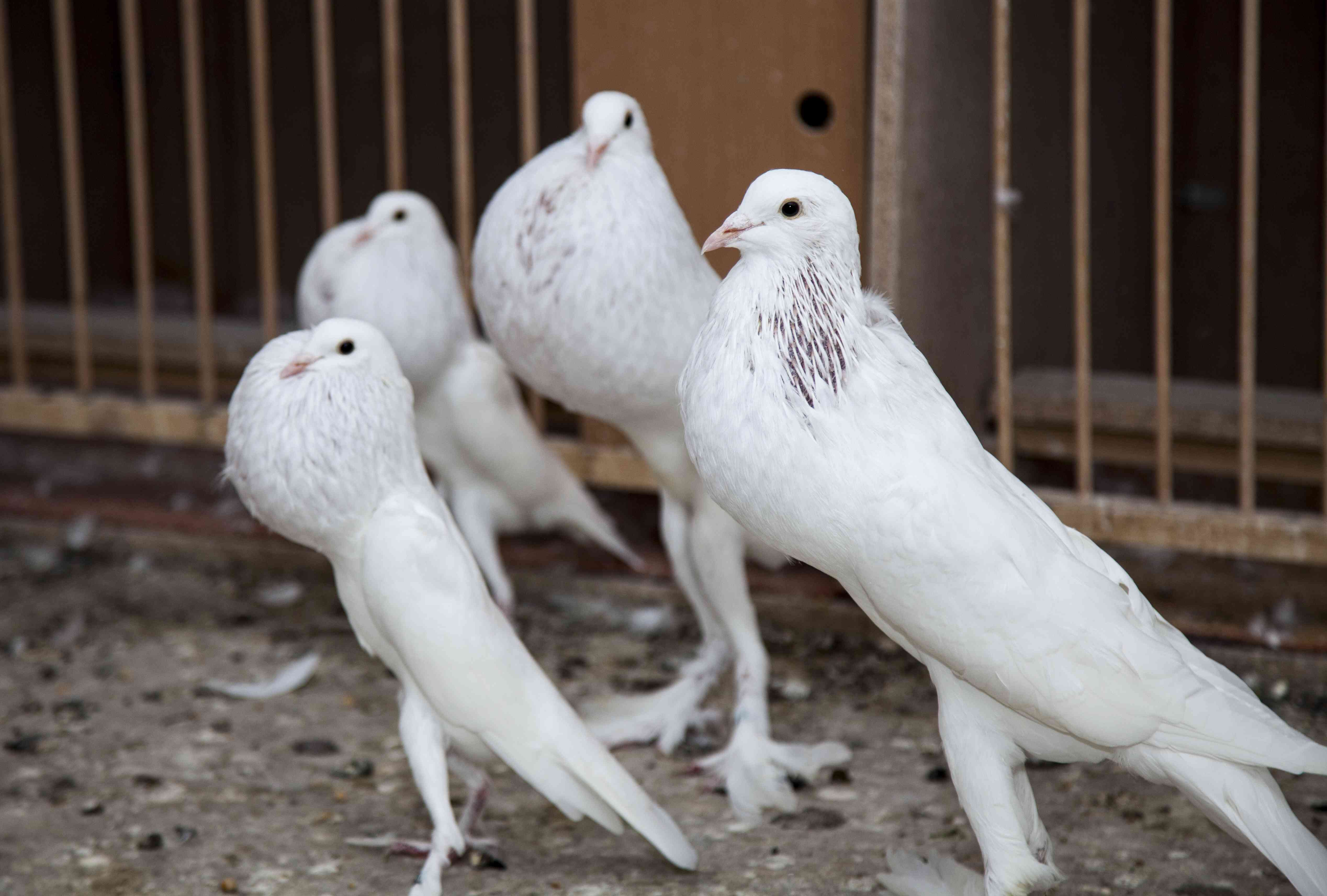 Four white pouter pigeons standing together