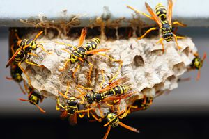 Wasps on a small nest