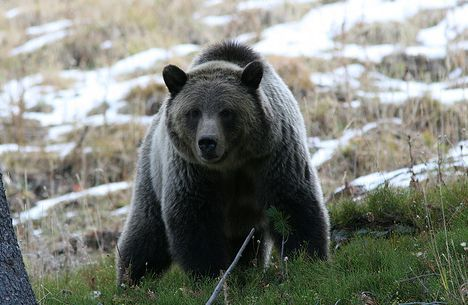 yellowstone grizzly bears endangered list photo