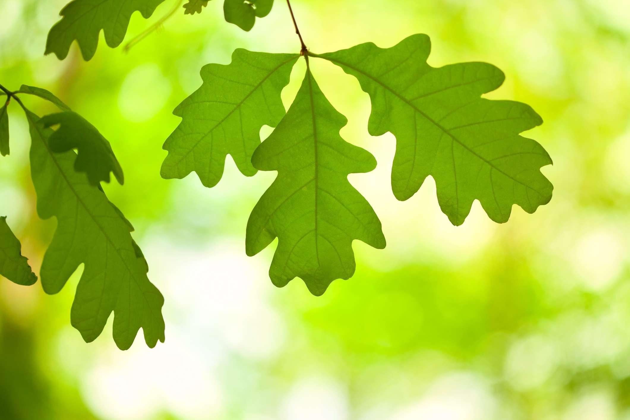 Green oak leaves hanging on a tree branch.