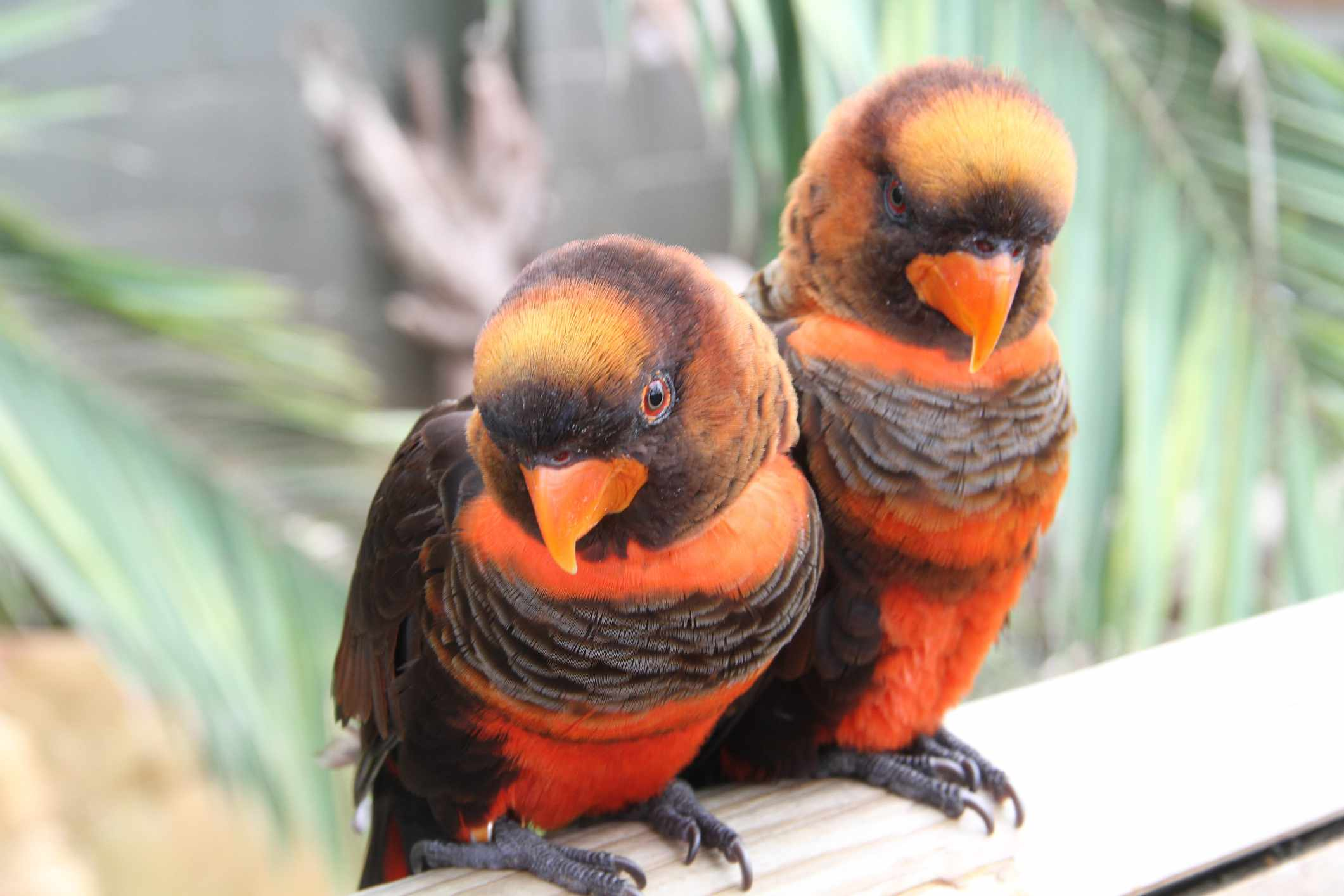 Pair of dusky lory parrots side by side
