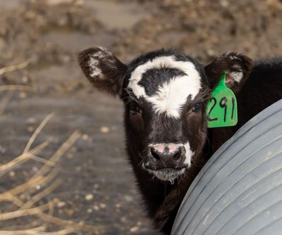 black and white cow with ear tag peeks out from metal silo