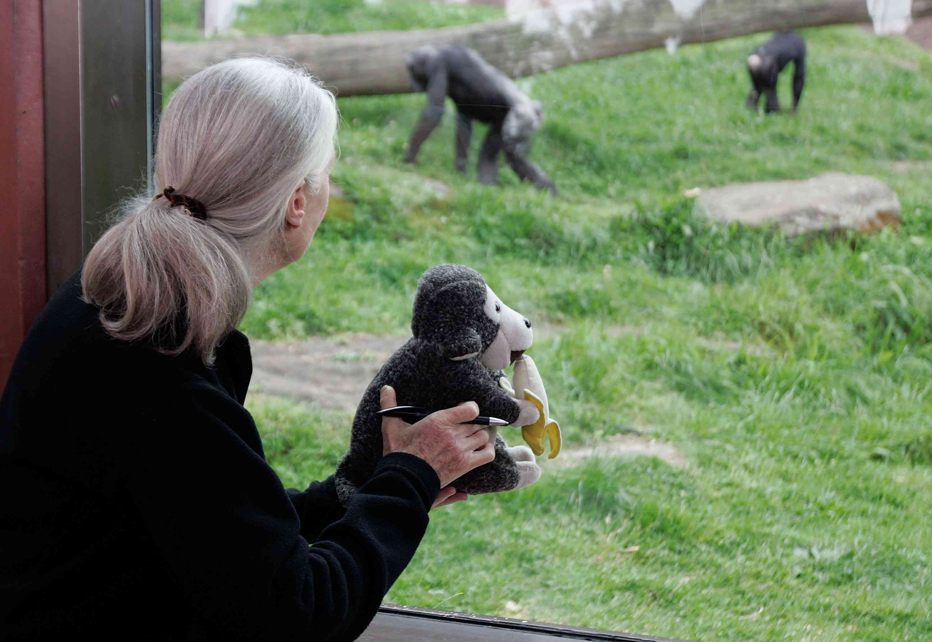 Jane Goodall holds a stuffed while observing apes at a zoo.