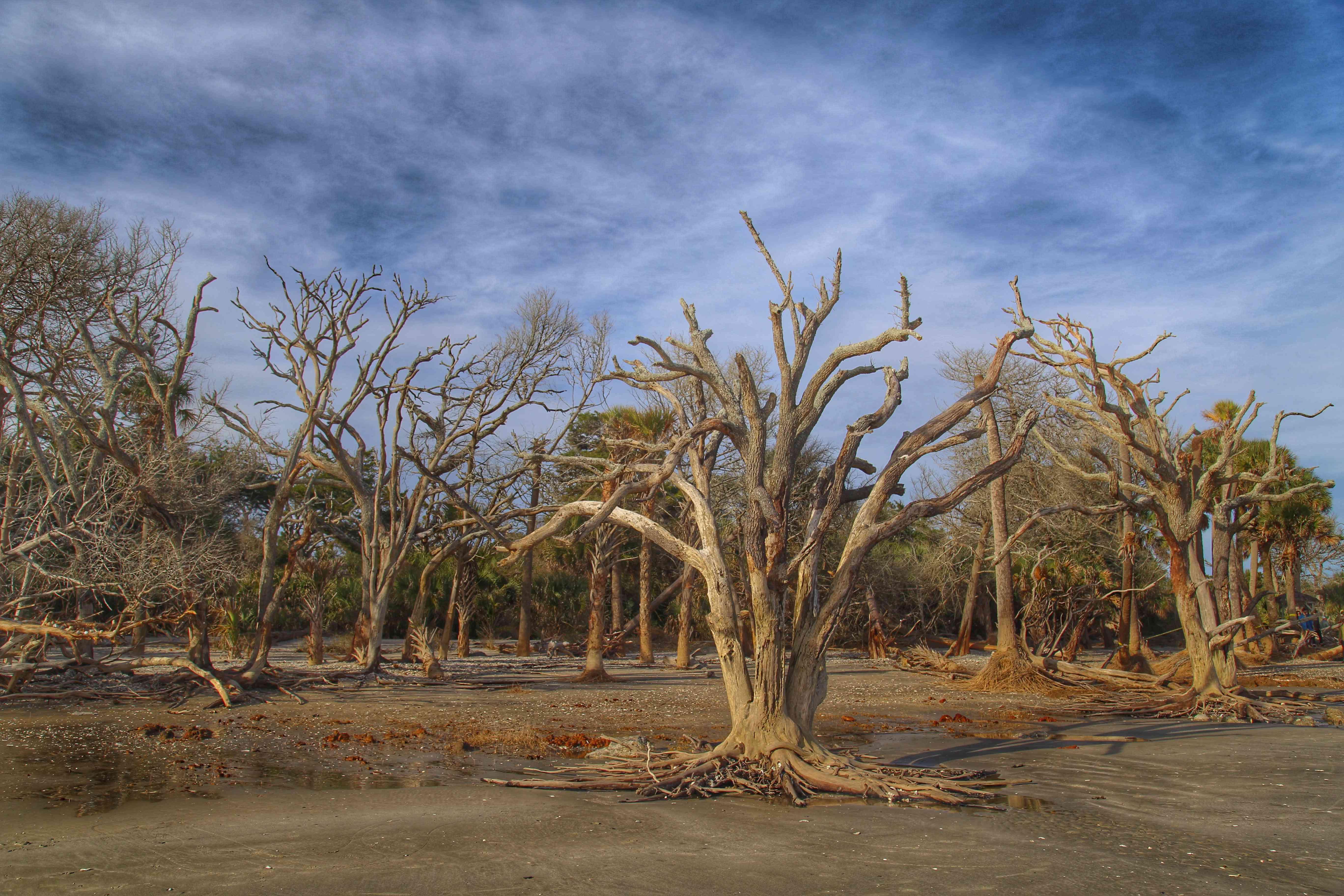 Bare trees on eroded beach at Botany Bay
