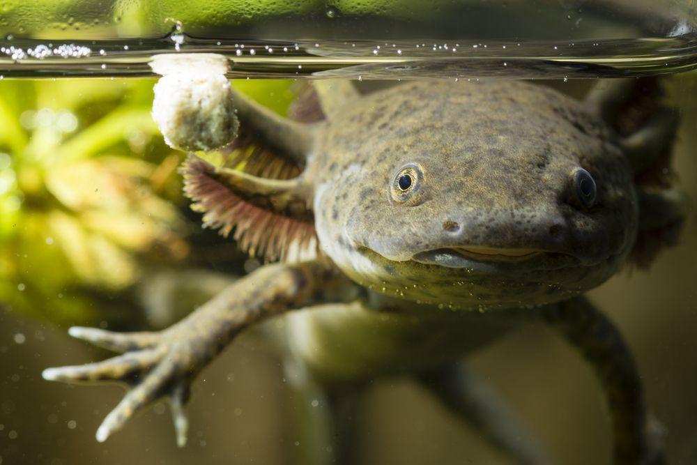 A gray-green salamander swims underwater
