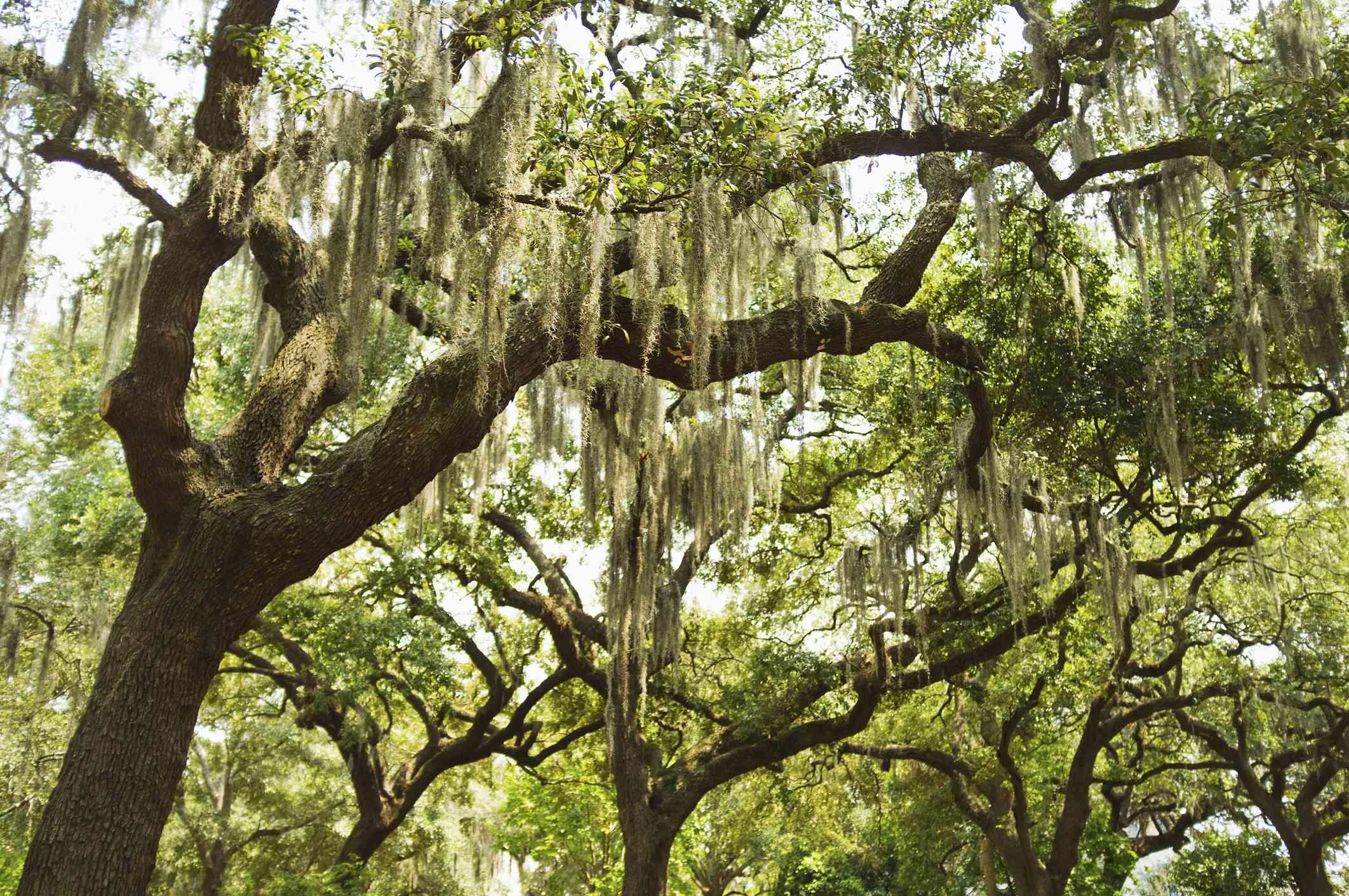 Shot looking up at a Live Oak tree.