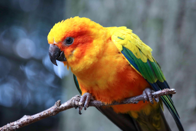 Sun parakeet (Aratinga solstitialis) perching