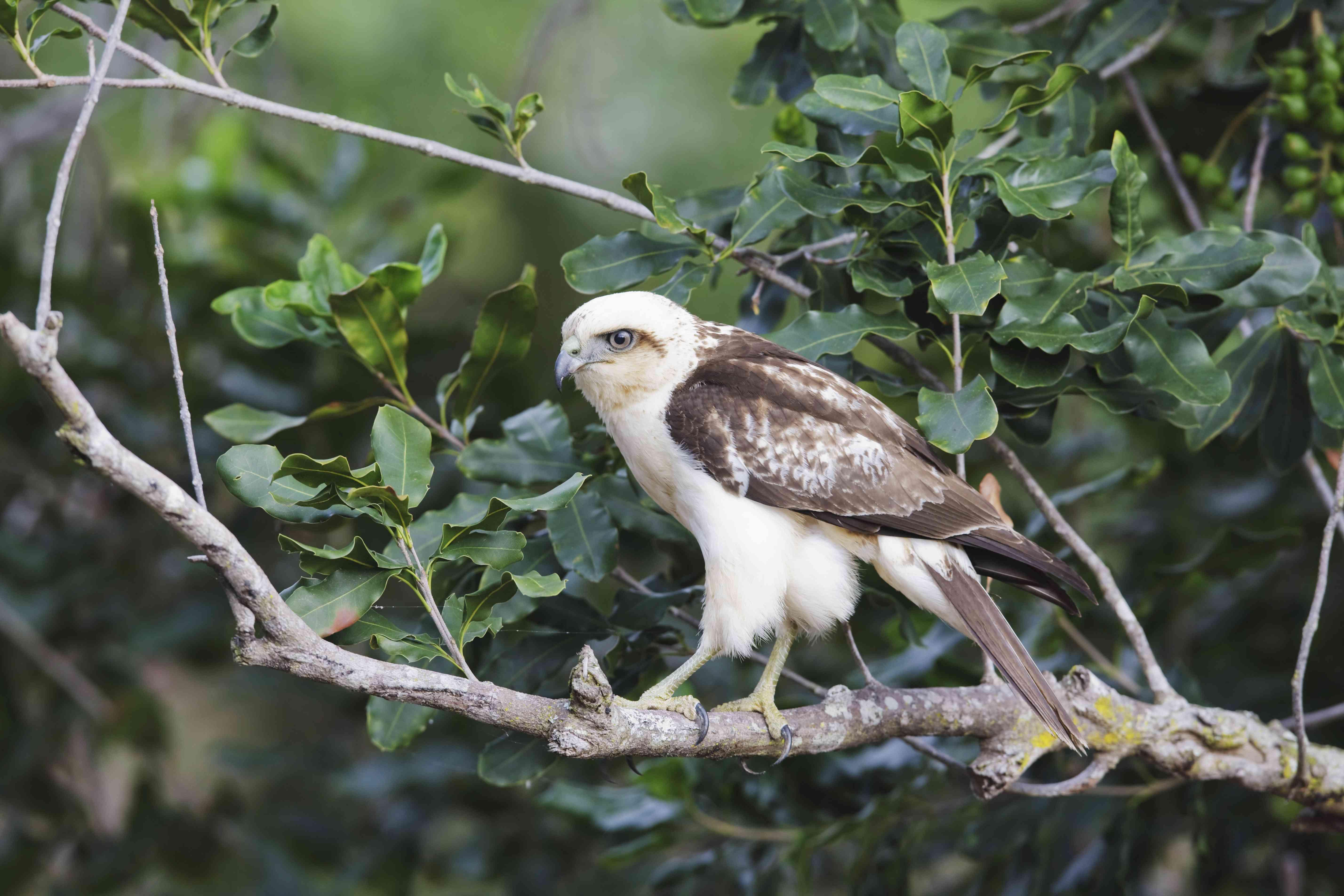 Hawaiian Hawk (Buteo Solitarius) Also Known As 'lo, Perched On Tree Branch