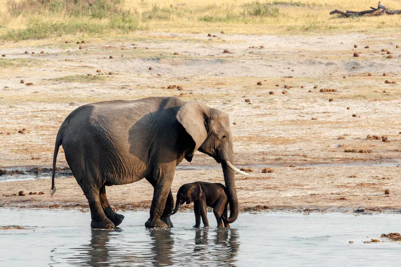 mother and child elephant standing in shallow water at a waterhole in Hwange national park, Matabeleland, North Zimbabwe