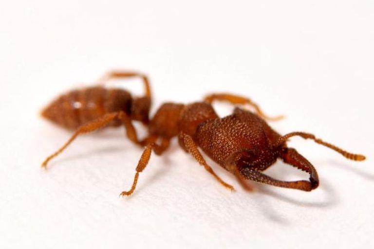 La hormiga Drácula establece el récord de movimiento animal más rápido conocido