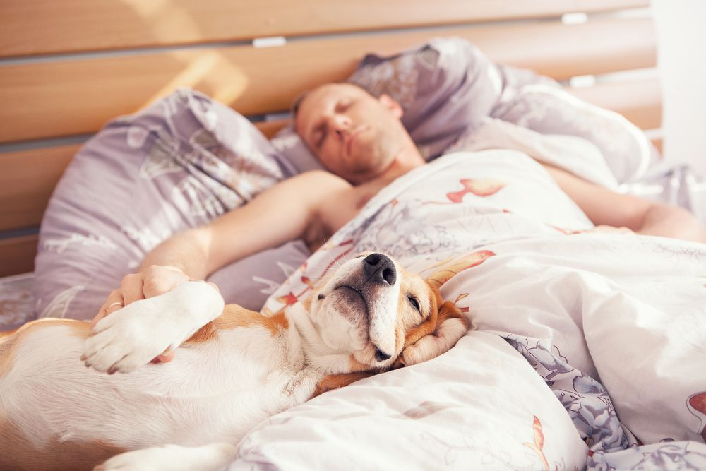 dog hogging bed with man on covers