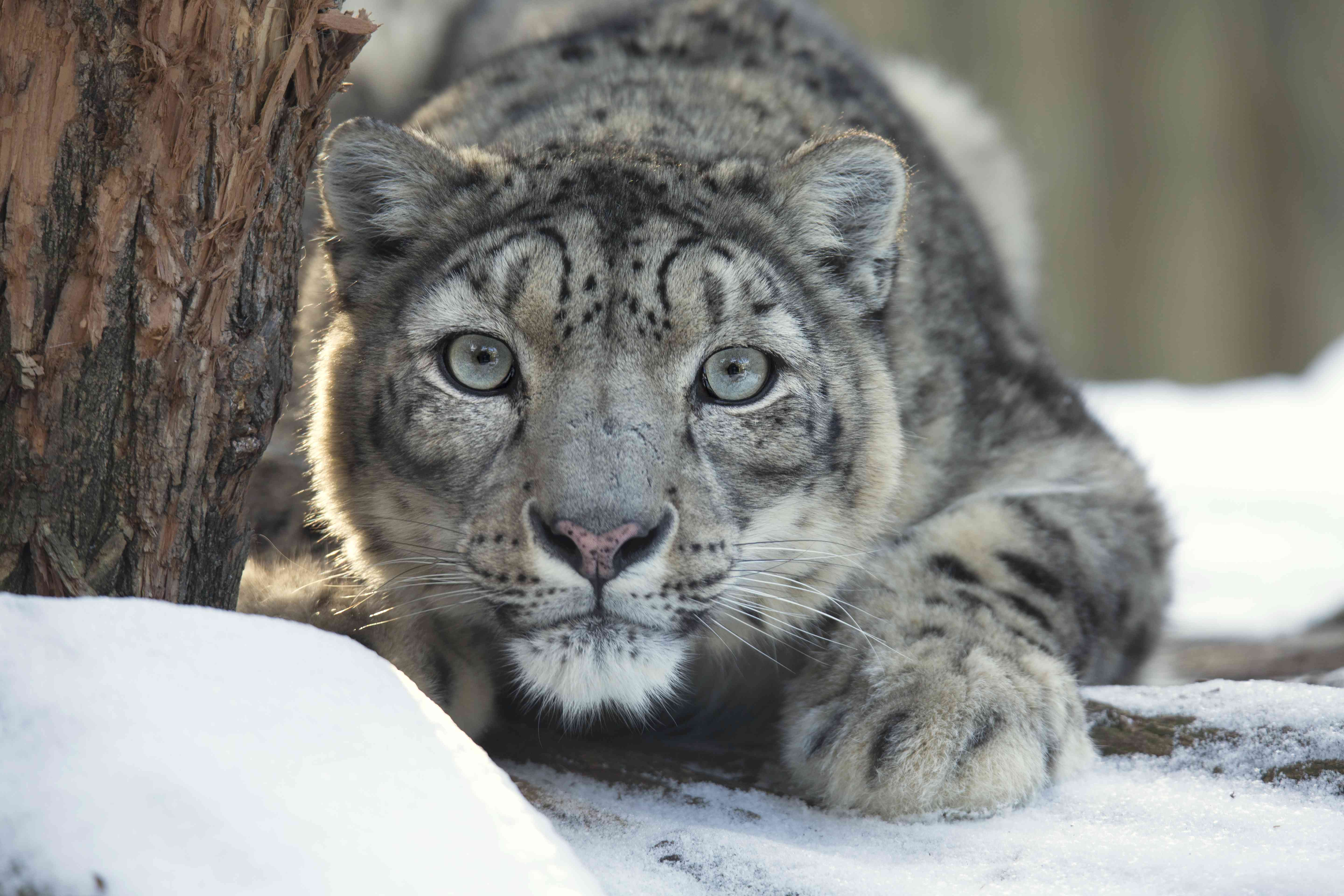 A snow leopard on the prowl, crouching low next to a tree in snow