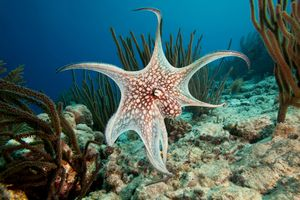 An Octapus opens tentacles at the bottom of the ocean.