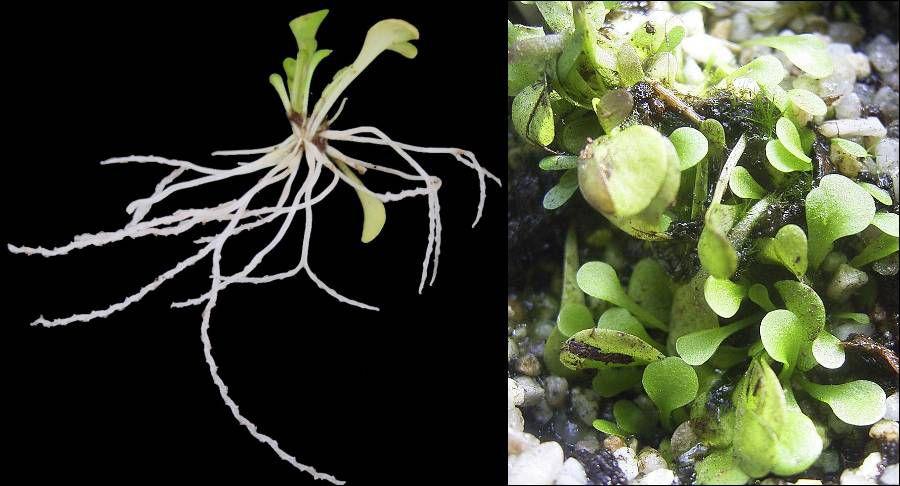 Carnivorous plants: Genilisea