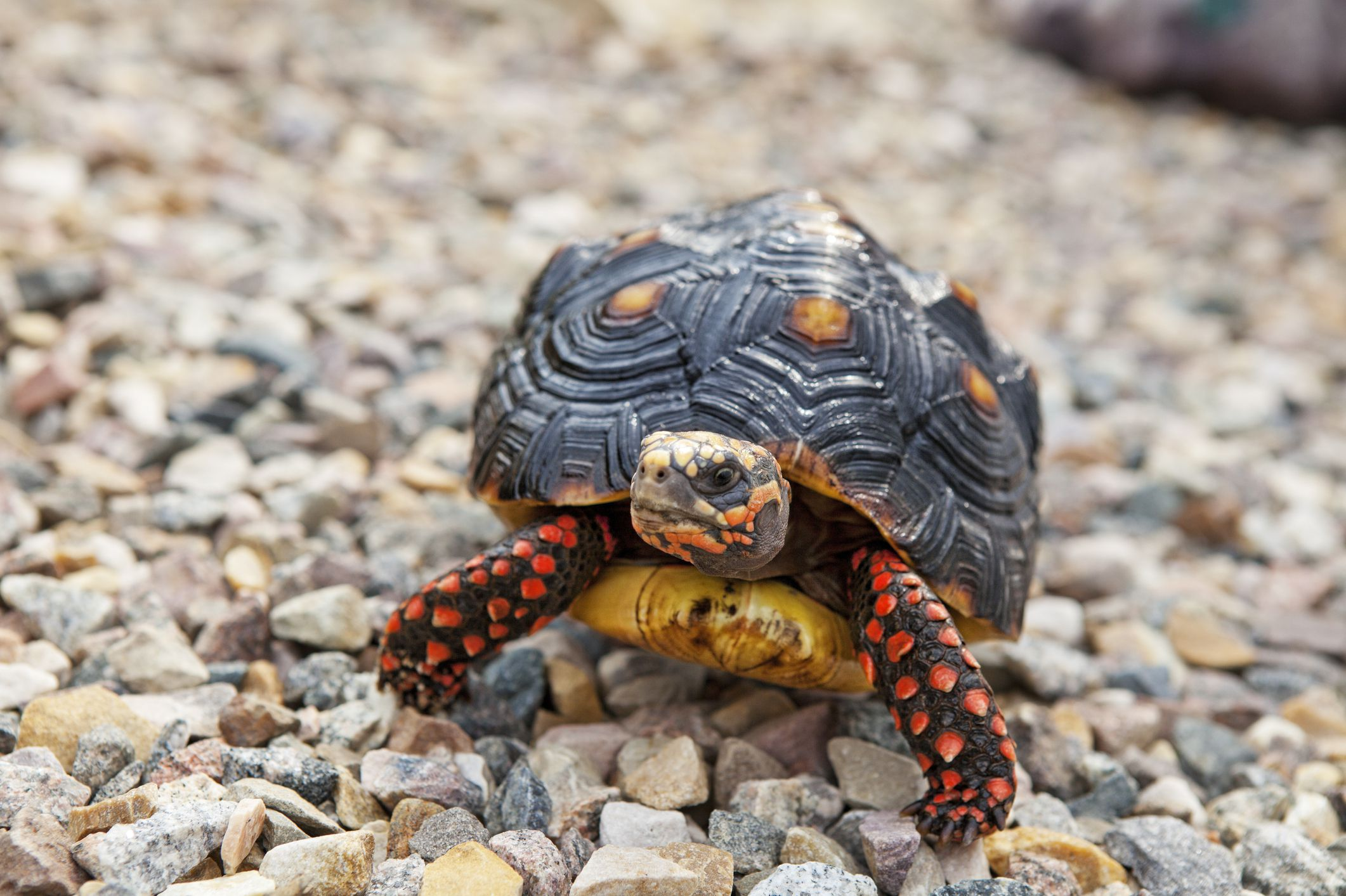Family Cleans House Finds Pet Tortoise Missing Since 1982