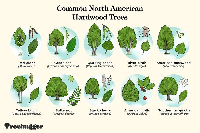 common North American Hardwood Trees illustration