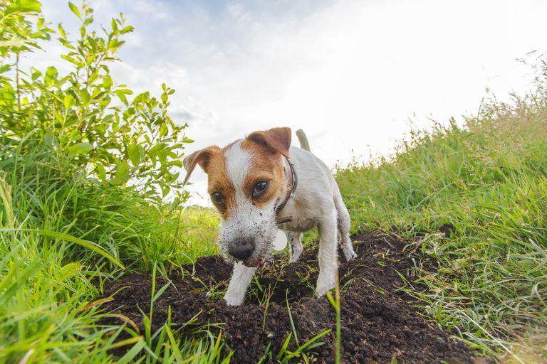 ¿Por qué los perros cavan agujeros?