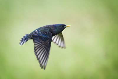 A blue starling flying against a very soft green background outside during springtime