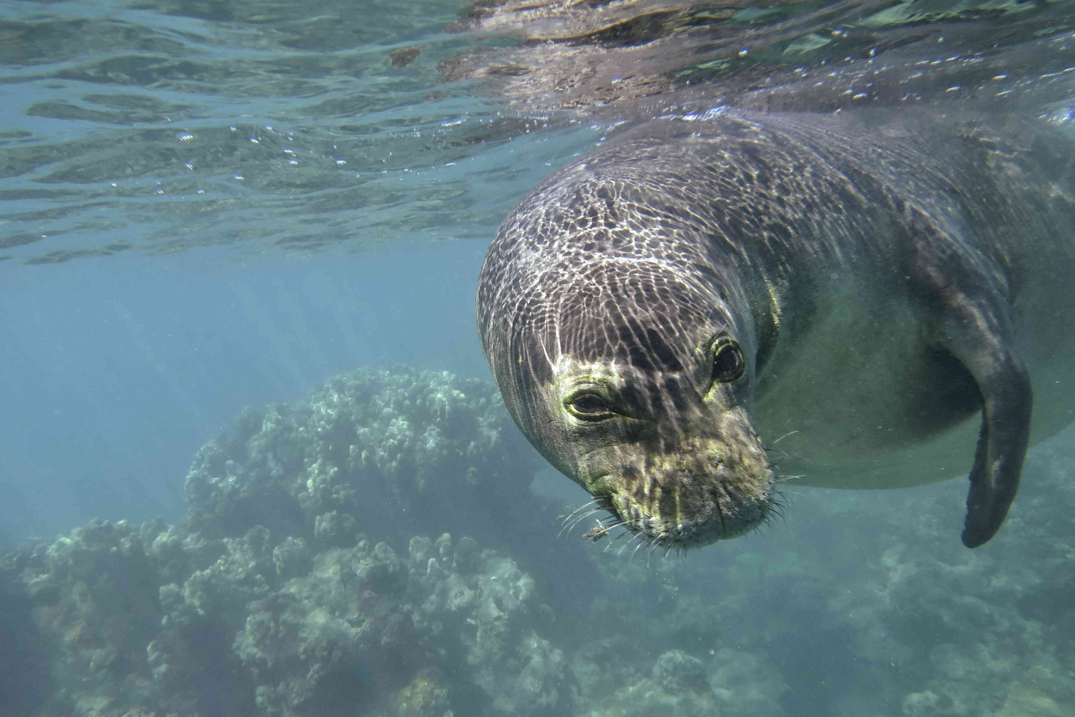 Hawaiian monk seal swimming with coral in the background
