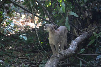 small female puma