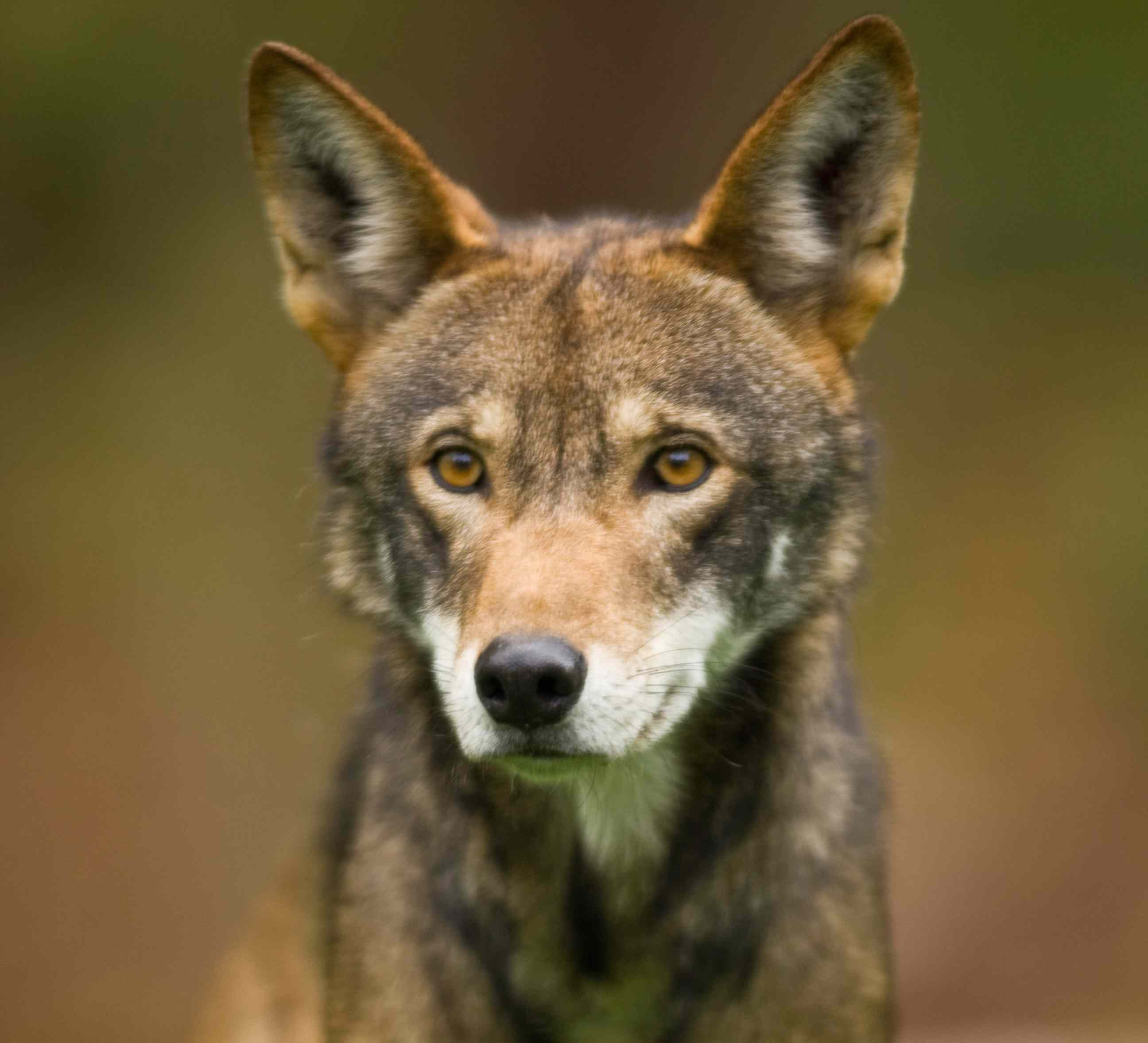 captive red wolf