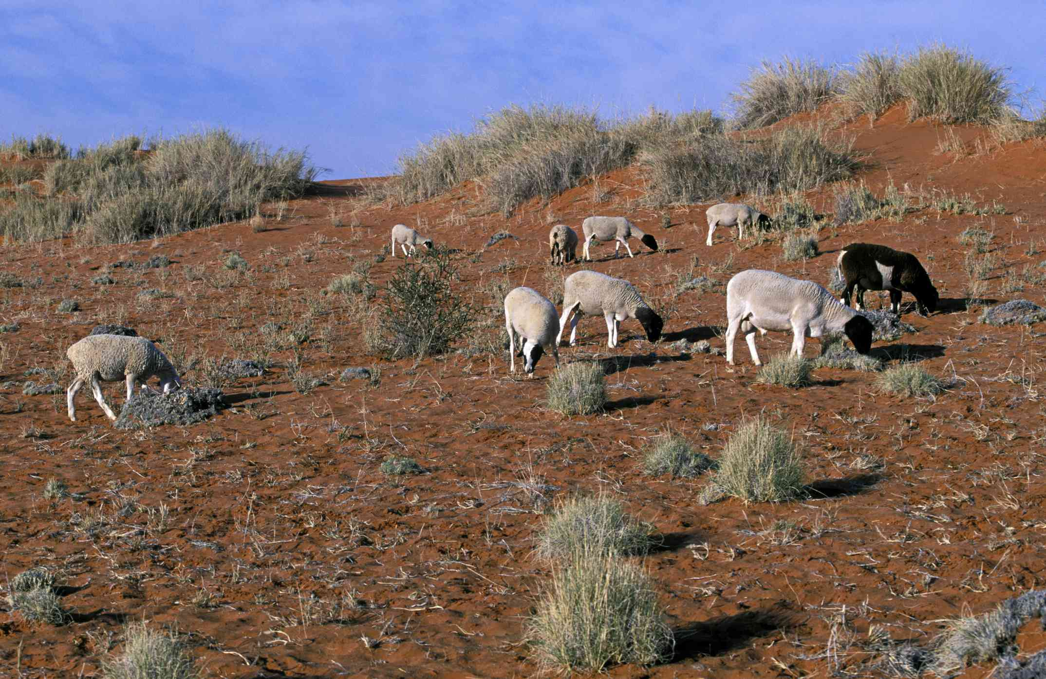 Livestock overgrazing in an African field.