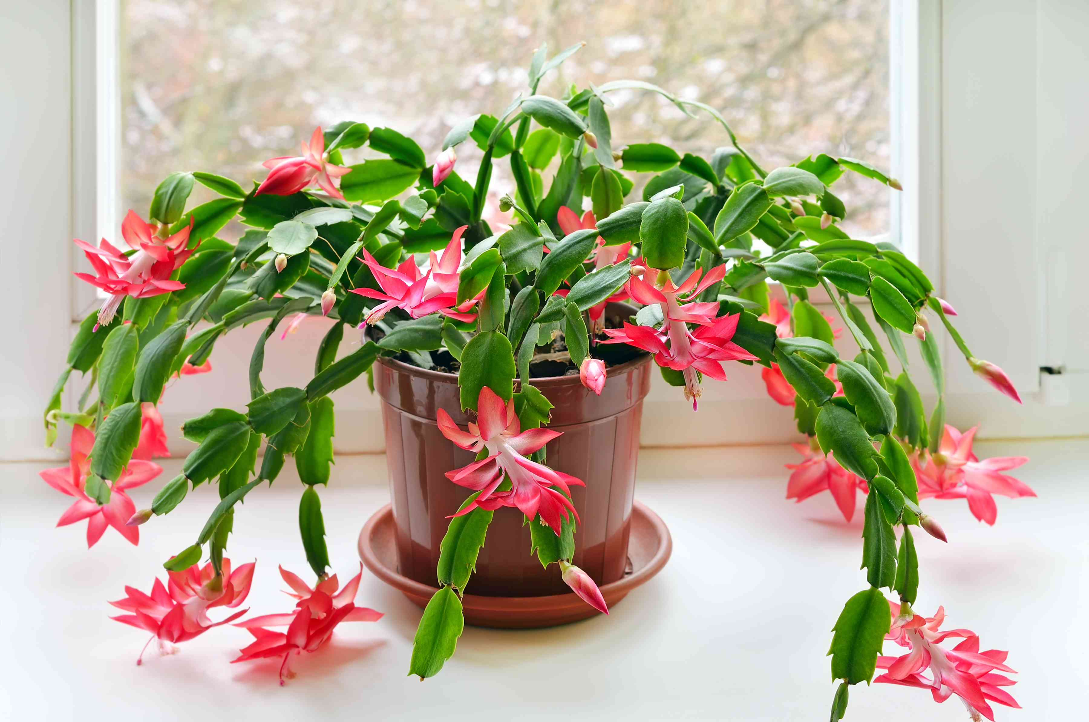A flowering Christmas cactus in a small brown pot in front of a window