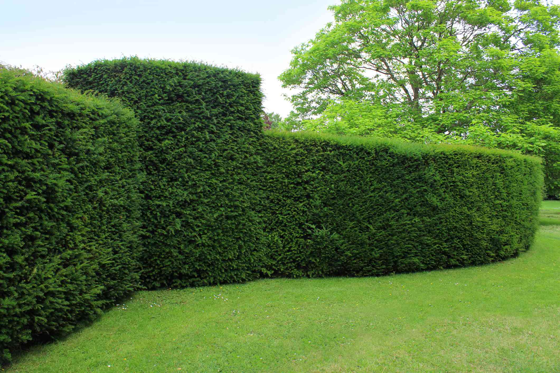 Clipped English yew hedge in a garden