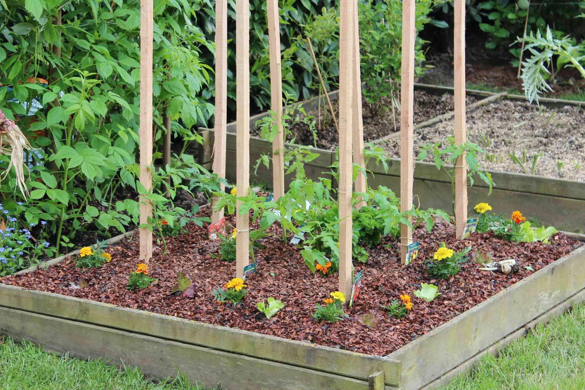 Marigolds planted around staked tomatoes in raised bed