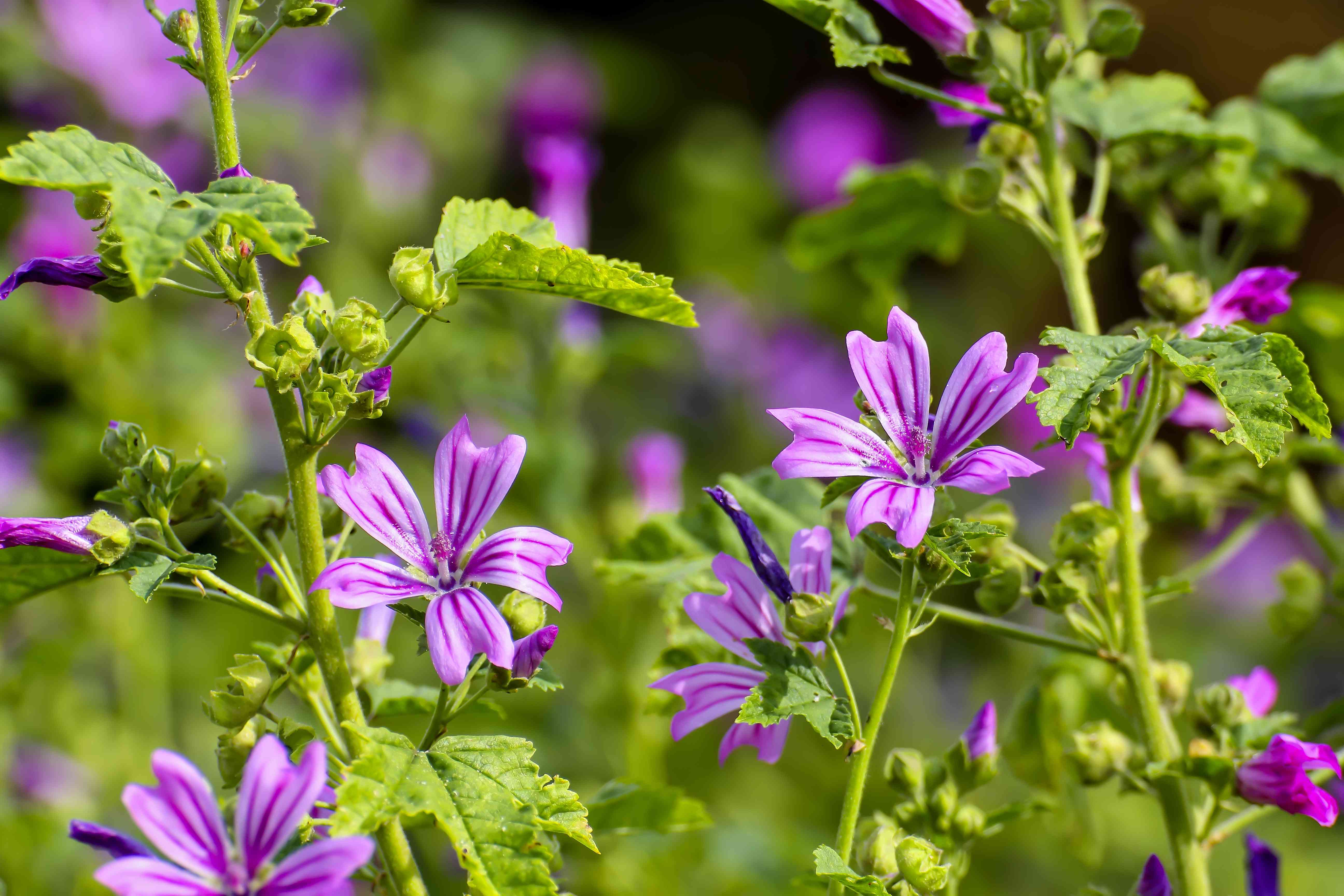 Close-up of purple flowers of wild mallow
