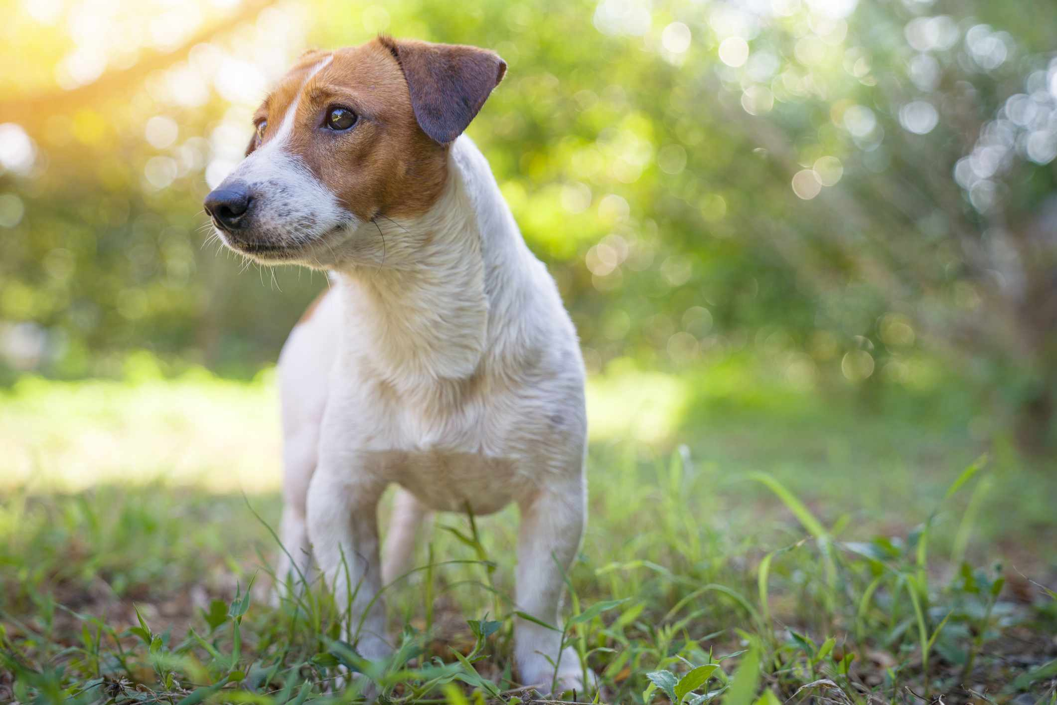 Jack Russell terrier standing in the grass
