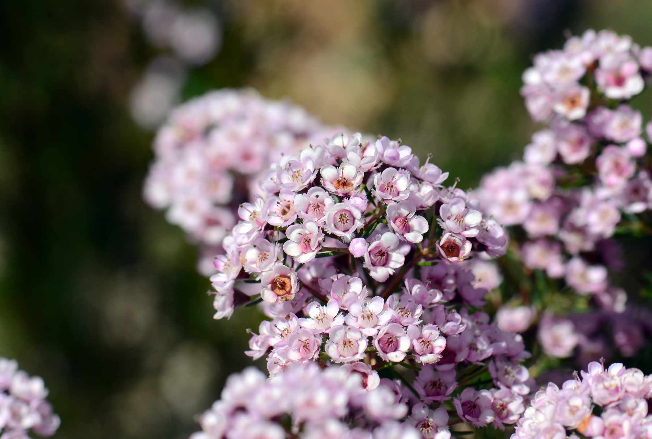Flowering Wax Myrtle